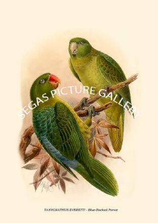 TANYGNATHUS EVERETTI - Blue-Backed Parrot